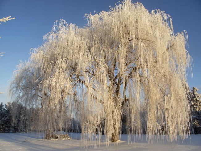 Icy willow tree
