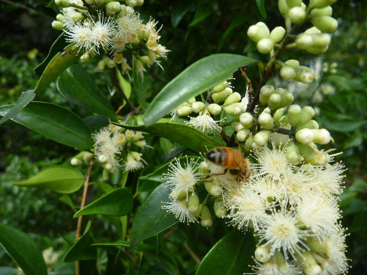 Riberry (Syzygium luehmannii) in flower in September, in Byron Bay. This is a future essential oil.