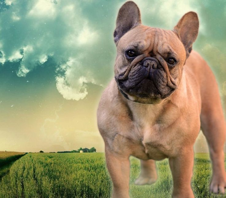 French Bulldog puppy for sale, French Bulldog for SALE • Home