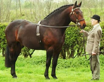 Yorkshire is known as the source of two horse breeds,the Thoroughbred & the Cleveland Bay. Description from pinterest.com. I searched for this on bing.com/images
