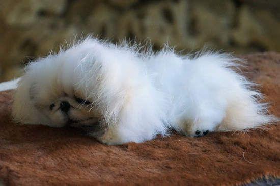 pekines Marshmallow By Tsybina Natali - Bear Pile