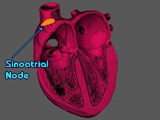#Sinotrial Node or #Sinus Node or #SA Node or #SAN / 竇房結 #Medical #Wikipedia #醫學 #維基百科