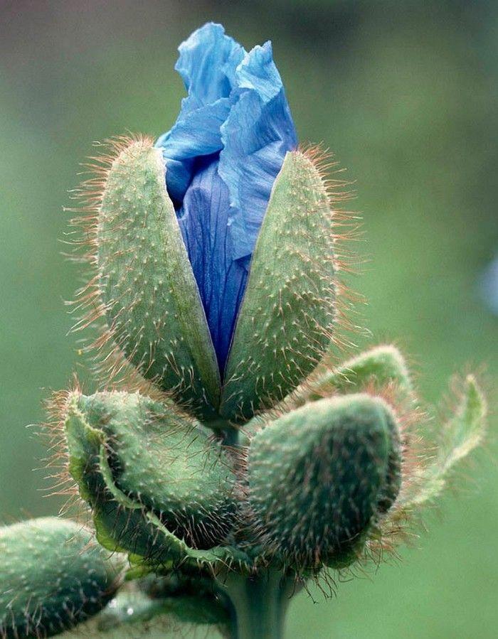 flores exóticas  Papoula azul                                                                                                                                                                                 Mais