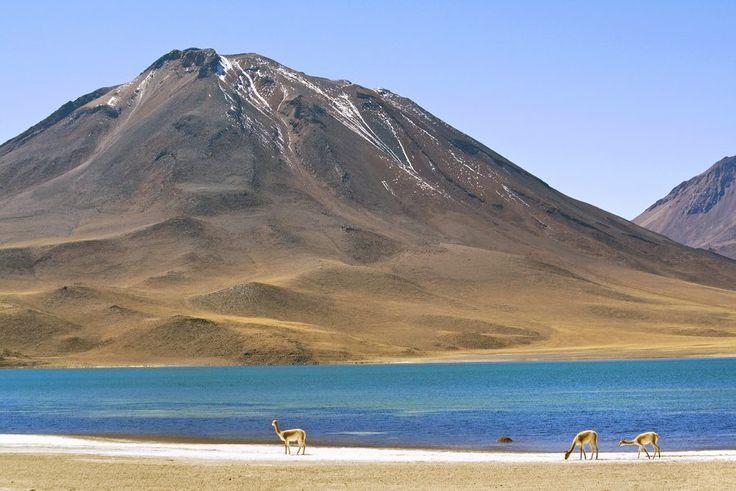 Vicuñas en Laguna Miscanti (Imagen CC Dimitry B)