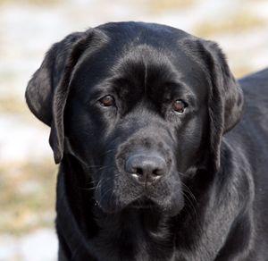 Buckstone Labrador Retrievers - Ch. Dickendall Princess Phoebe W.C.