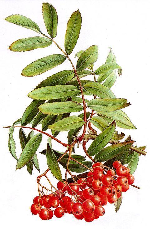 Rogn (Sorbus aucuparia)
