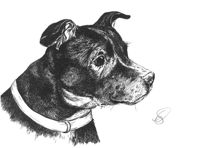 A senior staffy, completed as a donation for the 'Senior Staffy Club' charity