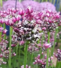 Allium Scorodprasum 'Passion'
