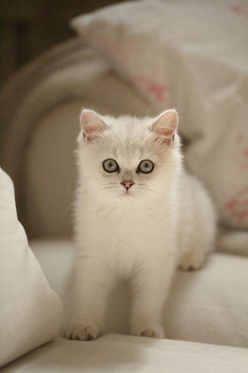 White kitty perfection!                                                                                                                                                     Más
