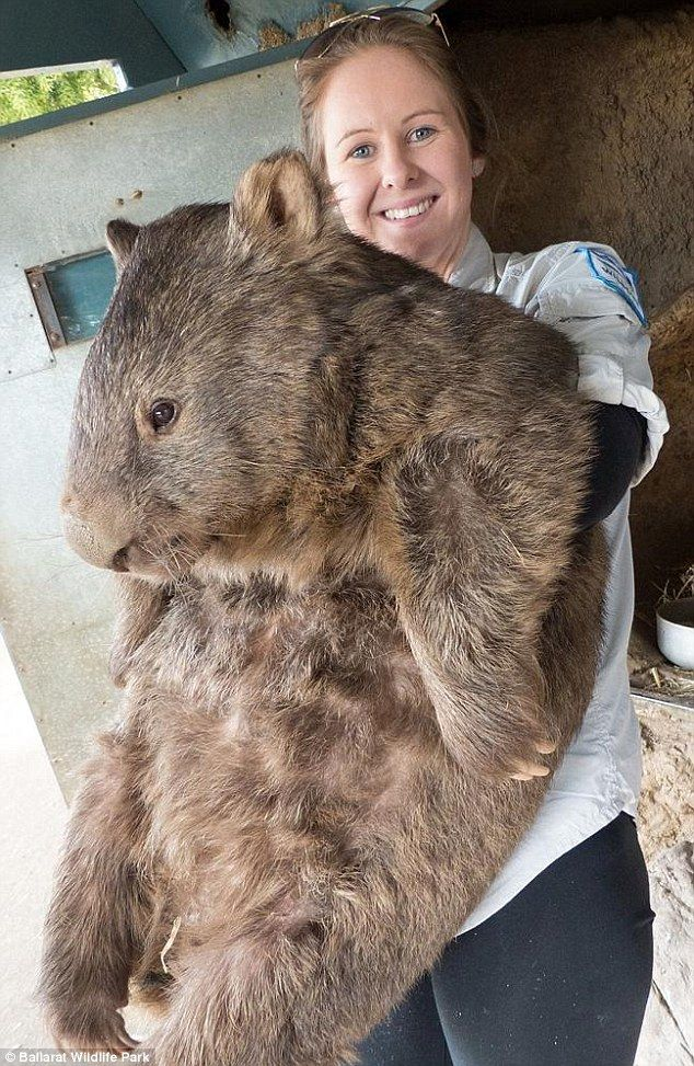 Patrick, the world's oldest wombat is 29 years old and weight 38 kg. Wombats are muscular burrowing marsupials normally weighing up to 30kg and living up to 5 years in the wild and 10 years in captivity. from dailymail.co.uk #Wombat #Australia