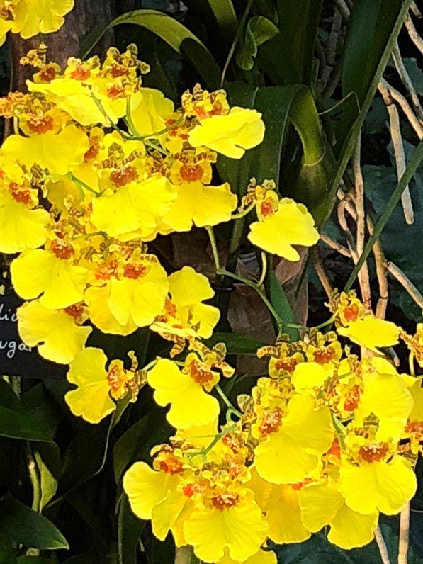Oncidium \'Sweet Sugar\', exposition Mille et une orchidées, Jardin ...