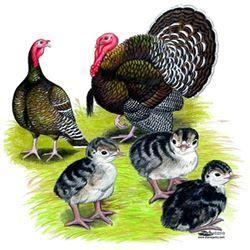 Broad Breasted Bronze Turkeys   #broadbreastedbronzeturkeys #broadbreastedturkeys #turkeys #turkeysforsale