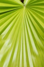 Texture of Green palm Leaf stock photo