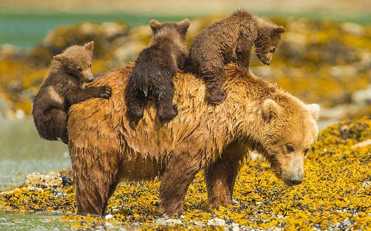 A mother bear takes a dip but refuses to leave her three youngsters behind -- so they climb on her back!  Picture: Jon Langeland/Solent News