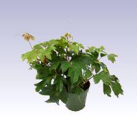 A Cissus rombifolia vagy hármaslevelű kúszóka Dél-Afrikából származik. A szőlő távoli rokona, a szobai körülményeket nagyon jól viseli. Gyorsan növekednek a hajtásai, hármasan tagolt, kezdetben fényes, majd sötétzöld levelei igen dús lombot képeznek.