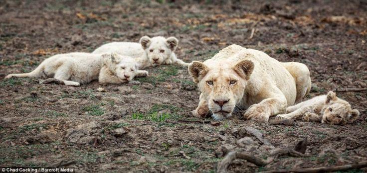 Les tout premiers lions blancs nouveaux-nés photographiés à l'état sauvage | Buzzly