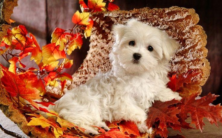 щенок, листья, Собака, осень