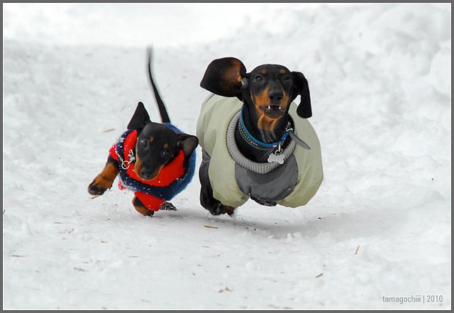 We can't be late (by tamagochiii, via Flickr): Doxies Rule, Daschund, Dogs 3, Weenie Dogs, Dogs Dogs Dogs, Cant, Funny, Babies Dachshunds, Amazing Animals