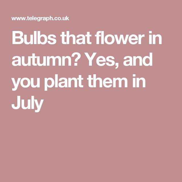 Bulbs that flower in autumn? Yes, and you plant them in July