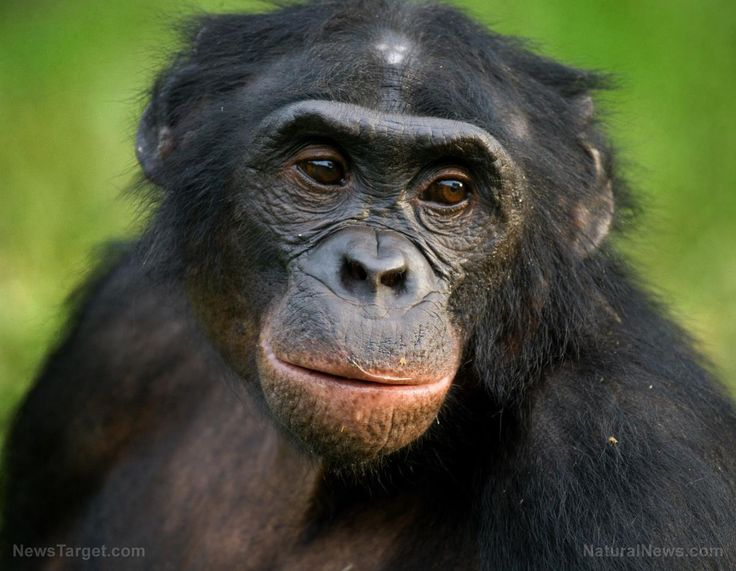 Chimpanzee-Face-Ape.jpg (1200×932)