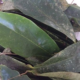 cherimoya guyabano soursop leaves Maui 2014