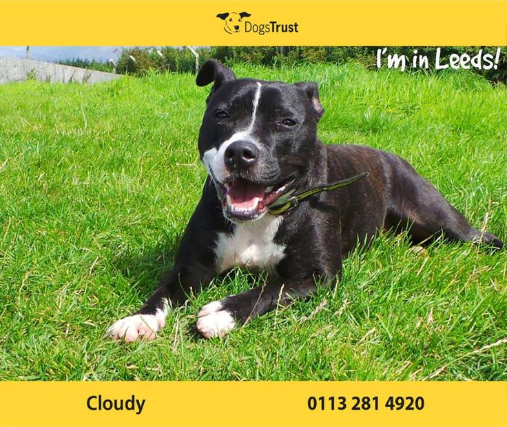 Cloudy at Dogs Trust Leeds is an adorable young staffie with an abundance of energy. She can be a little shy to start with but soon comes round. Once she knows you, Cloudy is an affectionate and fun loving girl. She is great with dogs when off her lead and may live happily with another playful dog.