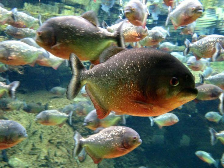 Meer dan 1000 afbeeldingen over Aquarium vissen op Pinterest   Harems, Tropisch en Woorden