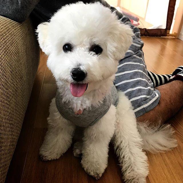 . . おはようございます🐶 昨晩、産まれて初めて点滴をしました。 夜間病院に行って診察して頂いたら、いつもの症状だったのでひと安心しましたが、脱水していたので点滴をしていただきました。 犬のいる暮らしが初心者の私たちは、こうやってトノの為に少しずつ経験しながら勉強していきます🐶❤️👪 . #bichonfrise#bichon#dog#cute#ビションフリーゼ#ビション#愛犬#犬#トノ#生後7ヶ月#仔犬#子犬#こいぬ#ふわふわ#真っ白#癒し犬#犬のいる生活#犬のいる暮らし#家族#family#可愛い#幸せ#幸せな時間#おすわり
