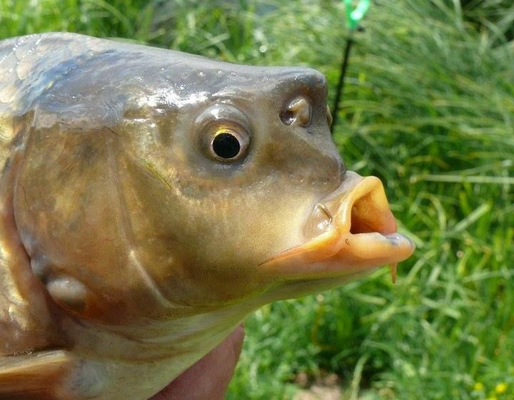 161 best images about carp fishing bait on pinterest for Carp fish pictures