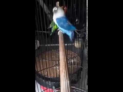 LOVEBIRD JUARA 1 PIALA RAJA 2016