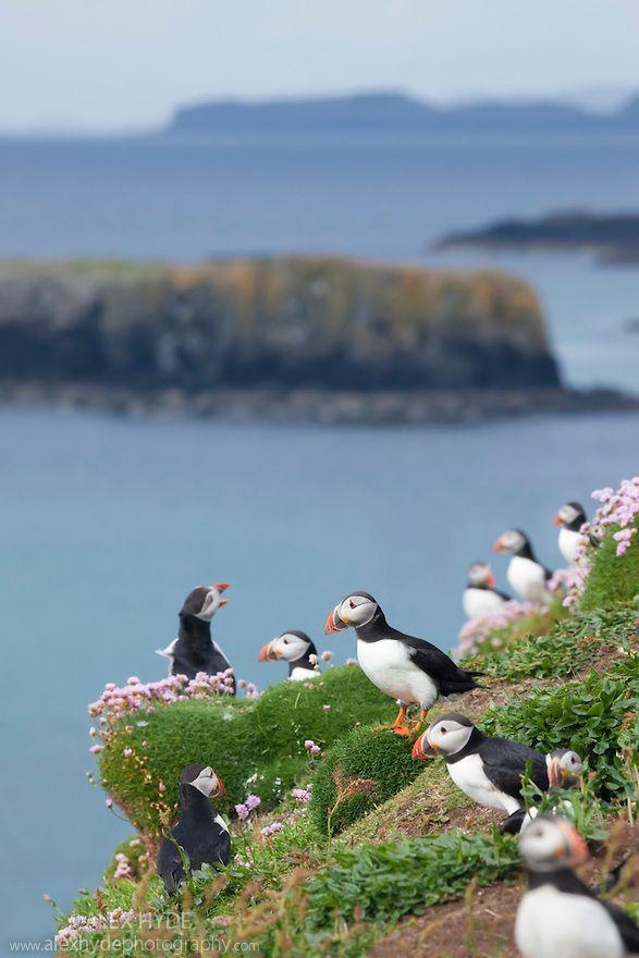 Scotland Travel Inspiration - Atlantic puffins (Fratercula arctica), Isle of Lunga, Treshnish Isles, Scotland, June.