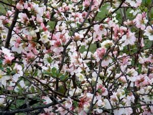 Buy Apple Blossom Quince online. Apple Blossom Quince is a large shrub featuring stunning red, white and light pink flowers in early spring. A medium grower, reaching 6 feet tall and wide. Perfect for use in hedges, privacy screens or in mass plantings