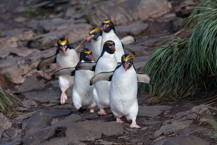18 million individuals, the Macaroni Penguin is the most numerous penguin species.