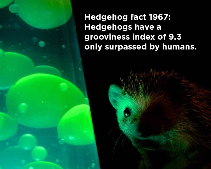 These hedgehog facts are all to true, amazing, and mind-blowing that we don't even need any introductory text here, though we feel compelled to put something here anyway.   1. A hedgehog…