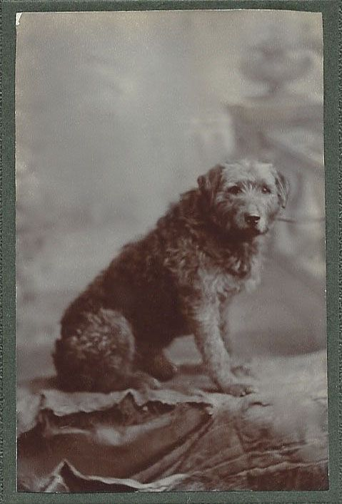 c.1900 cdv of airedale-like terrier sitting confidently in photographer's studio with painted backdrop. No information on dog or photographer. From bendale collection