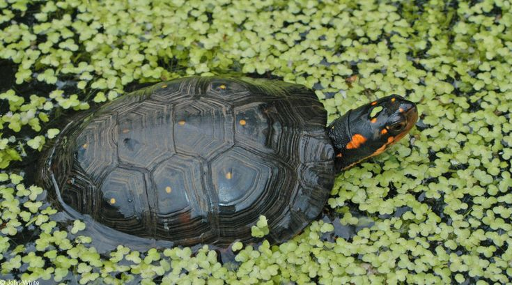 Clemmys guttata; Spotted Turtle