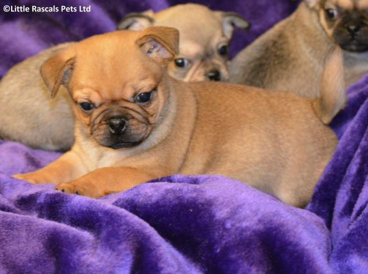 Loving Jug Puppies - Designer and Cross Breed Puppies For Sale