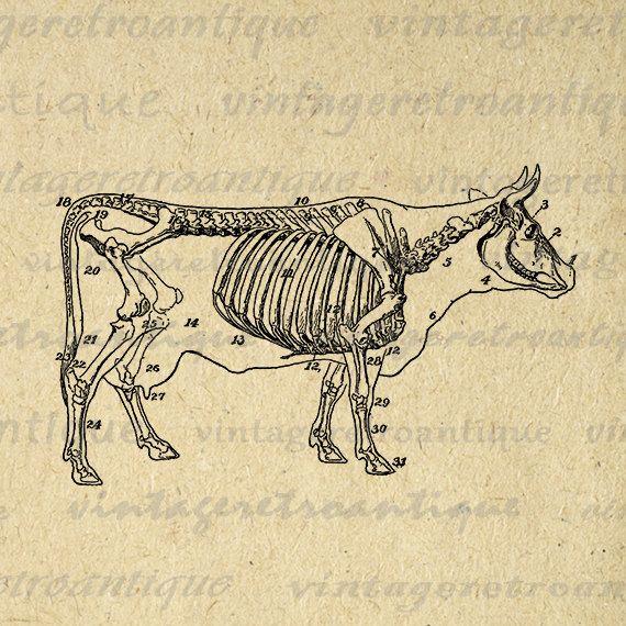 Cow Skeleton Diagram Printable Image Download Digital Graphic Antique Clip Art Jpg Png Eps 18x18 HQ 300dpi No.3123 @ vintageretroantique.etsy.com