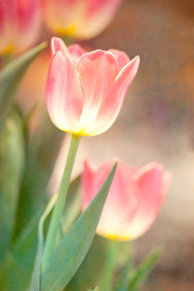 Tulips by Connie Etter