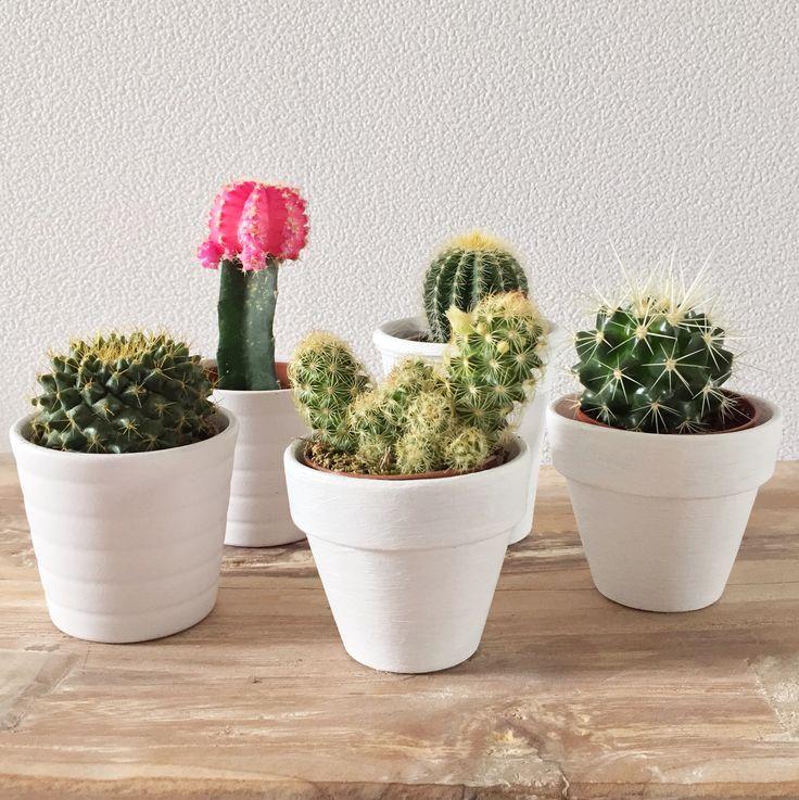 Cactus   Peet likes