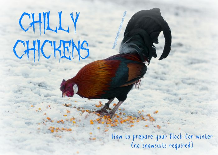 Chilly Chickens: 7 Tips for Preparing Your Flock for Winter