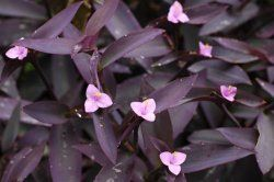 Tradescantia pallida - Purple Heart Plant Care Tips including propagation tips!