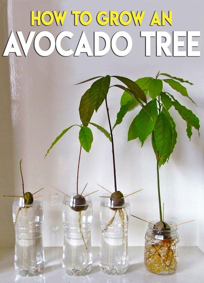 How To Grow An Avocado Tree Growing An Avocado Tree Grow Avocado Avocado Tree