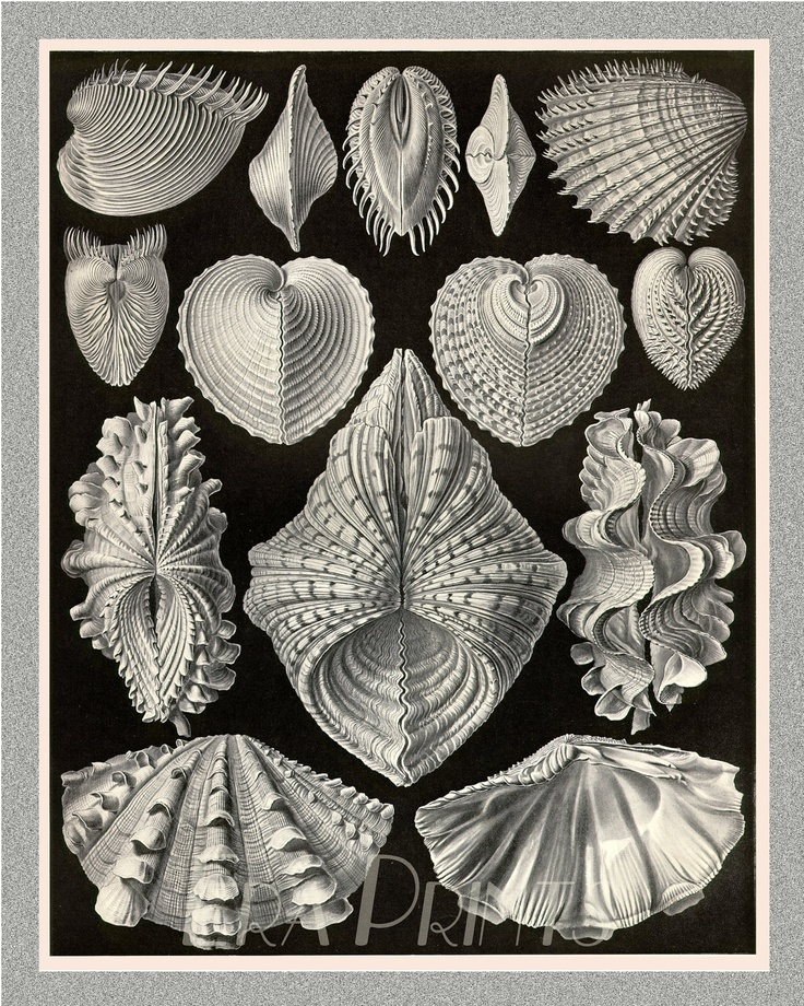 Vintage Ernst Haeckel Marine Life Seashells Victorian Era Science Illustration
