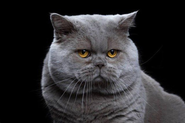 17 Breeds of Cat That Are All Beautiful - We Love Cats and Kittens ~ 4. British Shorthair