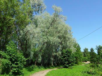 Salix alba var sericea Sibirica - Google-haku