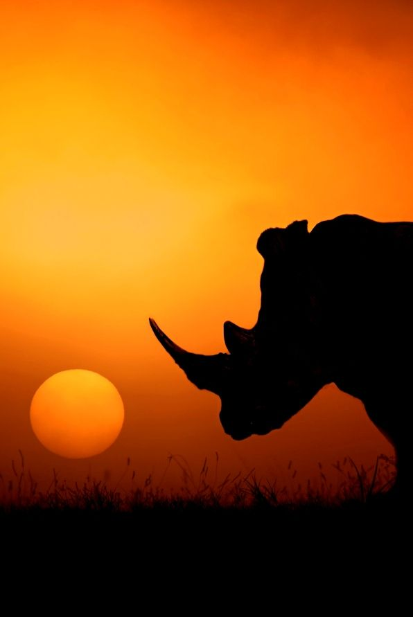 [> Happy World Rhino Day! Thousands of rhinos are killed every year and the…