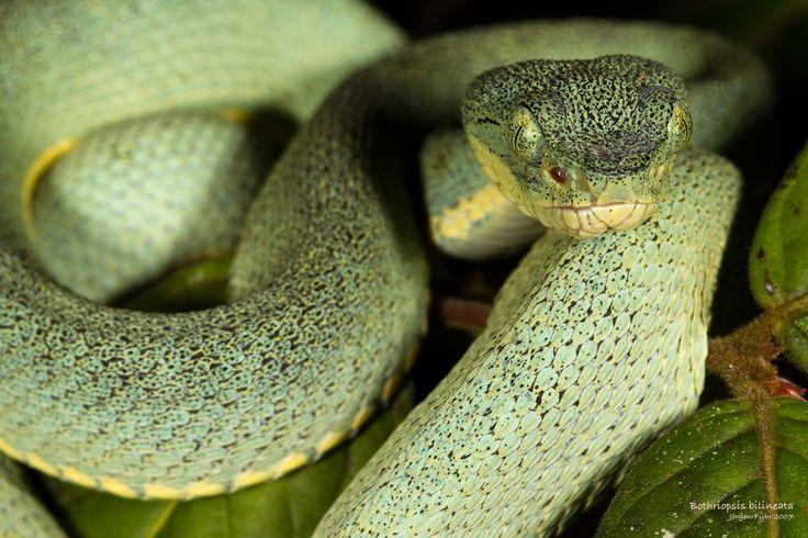 Obraz z http://www.jorgenfyhr.com/wp-content/gallery/neotropical-snakes/wel4683_bothriopsis_bilineata_amazonian_palm_viper_web.jpg.