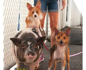 This Bonded Family Of An Abandoned Pig And Her Two Dogs Is Looking For A Forever Home