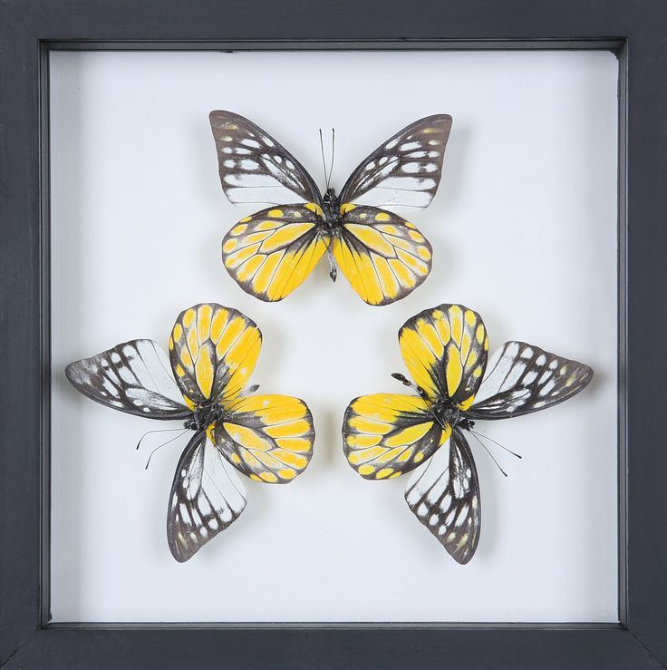 This hand made double glass see through frame consists of real taxidermy dried farmed butterflies which have been mounted onto glass